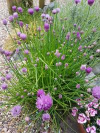 Magical Food - Chives